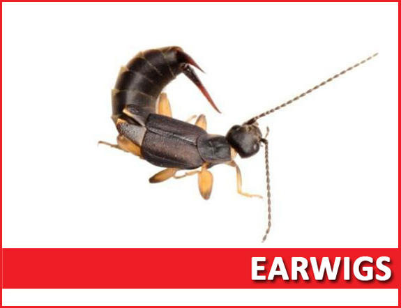 Earwig extermination services