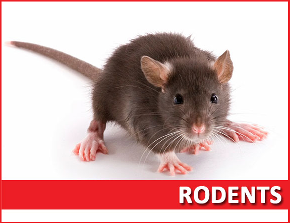 Rodent extermination services